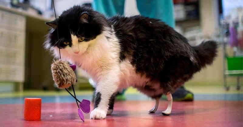 Prótesis MG LATAM * Gato con prótesis en patas traseras
